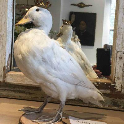 Taxidermy duck